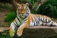 Обои PHOTO DECOR Тигр 518 2,5*3м